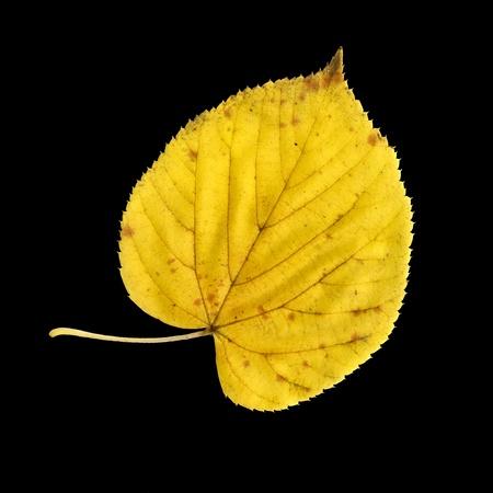 tilia: Autumn leaf of large-leaved linden, top surface, Tilia platyphyllos