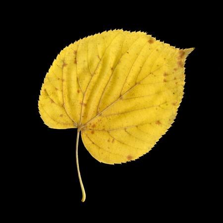 tilia: Autumn leaf of large-leaved linden, under-surface, Tilia platyphyllos
