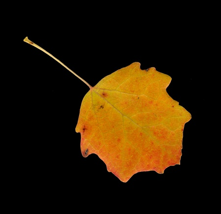 aspen leaf: Upper surface of a leaf of the Common Aspen in autumn, Populus tremula