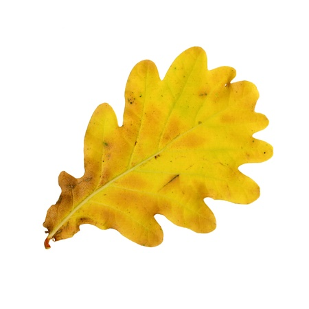 Autumn leaves of an oak, under-surface, quercus rubor photo