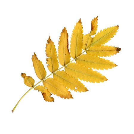 european rowan: Autumn leaves of a rowan, under-surface, Sorbus aucuparia