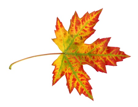 Maple leaf in autumn, Acer platanoides, top side of the leaf surface, isolated Standard-Bild