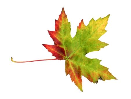 Maple leaf in autumn, Acer platanoides, top side of the leaf surface, isolated photo