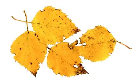 betula pendula: Foglie di un Silver Birch, Betula pendula, in autunno