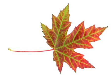 acer platanoides: Maple leaf in autumn, Acer platanoides, leaf surface, isolated