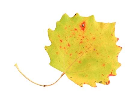 aspen leaf: Autumn leaf of an aspen, top surface, populus tremula