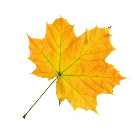 tip of the leaf: Upper surface of a maple leaf in autumn, Acer platanoides, isolated
