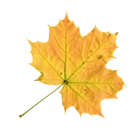 Undersurface of a maple leaf in autumn, Acer platanoides, isolated photo