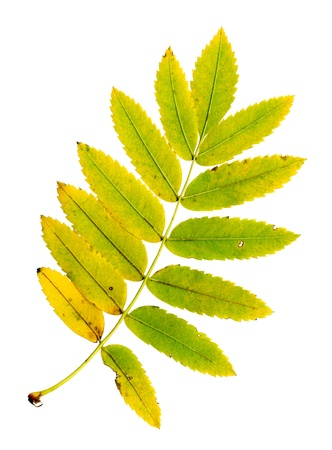 sorbus aucuparia: Autumn leaf of a rowan, under-surface, Sorbus aucuparia Stock Photo