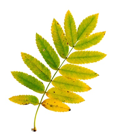 sorbus aucuparia: Autumn leaf of a rowan, top surface, Sorbus aucuparia
