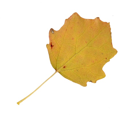 Autumn leaves of an aspen, undersurface, populus tremula photo