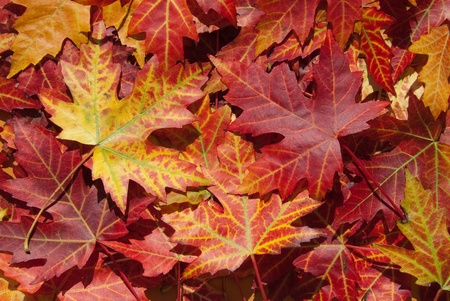 acer platanoides: Maple leaves in autumn, Acer platanoides, red, green, yellow