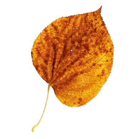 tilo: Hoja de oto�o de grandes hojas de Tilo, superficie superior, Tilia platyphyllos