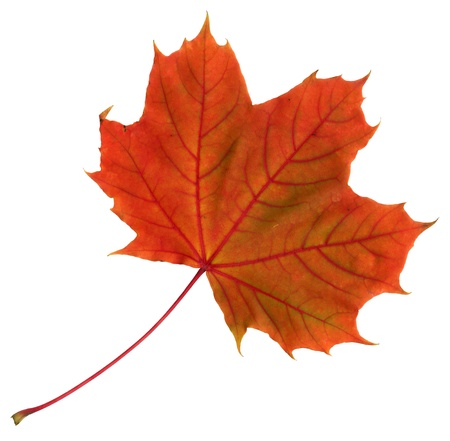 Upper surface of a maple leaf in autumn, Acer platanoides, isolated photo