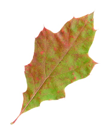 quercus: Autumn leaves of a red oak, top surface, quercus rubra