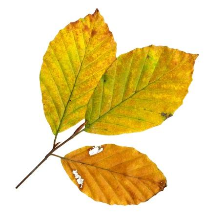 Herbstlaub einer Rotbuche, Oberfläche, Fagus sylvatica Standard-Bild - 10019003