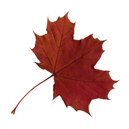 Upper surface of a maple leaf in autumn, Acer platanoides, isolated Stock fotó - 10019001
