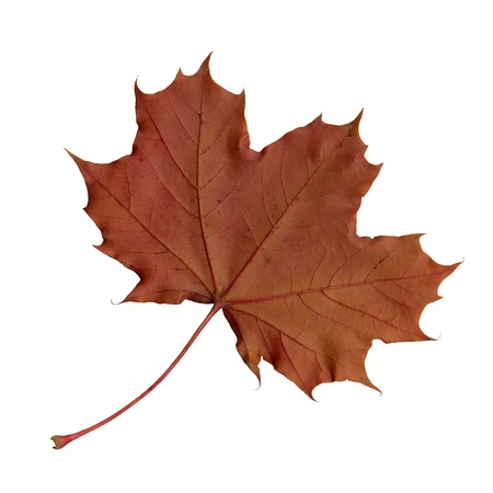 acer platanoides: Undersurface of a maple leaf in autumn, Acer platanoides, isolated