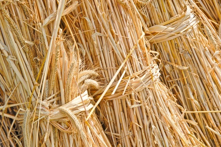 secale: Bails of straw, Secale cereale