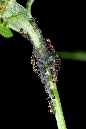 piojos: Hormigas planta piojos en una planta de orde�o