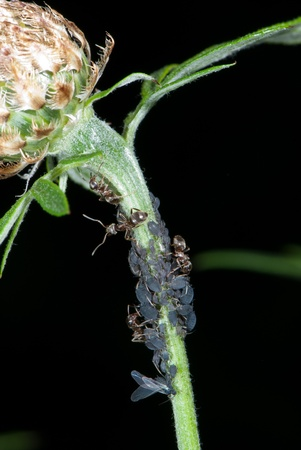 lice: Ants milking plant lice on a knapweed Stock Photo