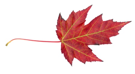 acer platanoides: Maple leaf in autumn, Acer platanoides, top side of the leaf surface, isolated Stock Photo