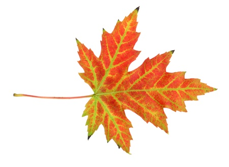Maple leaf in autumn, Acer platanoides, leaf surface, isolated photo