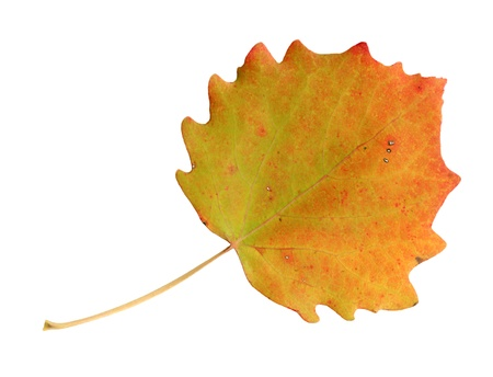 Upper surface of a leaf of the Common Aspen in autumn, Populus tremula