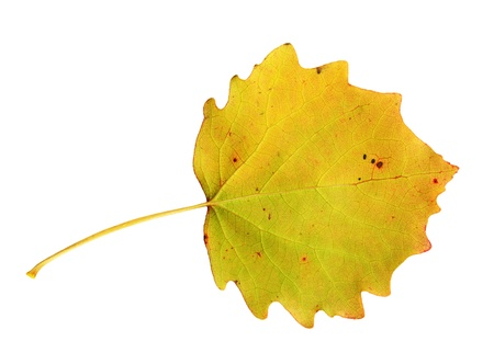 aspen leaf: Undersurface of a leaf of the Common Aspen in autumn, Populus tremula Stock Photo