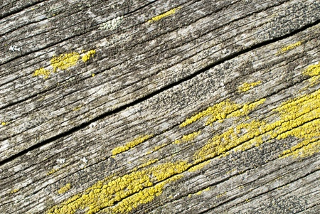 photosynthetic: Common orange lichen, Xanthoria parietina, on a wooden board Stock Photo