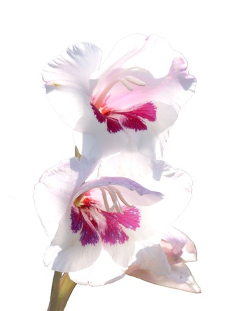 gladiolus: Two flowers of a white-red gladiolus, Gladiolus, isolated on white background