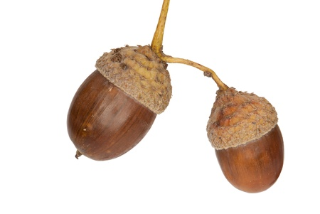 Two acorns of a Pedunculate Oak, Quercus robur, isolated against white background photo