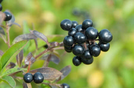 Deep blue and glossy berries on a shrub of the Wild Privet, Ligustrum vulgare, in autumn