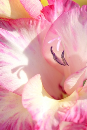 Detail of a flower of a pink gladiolus, Gladiolus photo