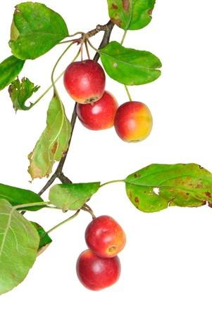 Twig mit Crabapples, Malus, isoliert Lizenzfreie Bilder - 10816375