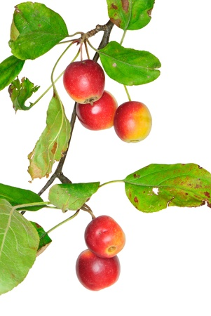 Twig mit Crabapples, Malus, isoliert