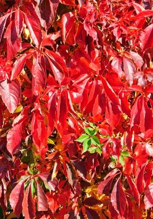 autumn colouring: Virginia Creeper in autumn, Parthenocissus quinquefolia Stock Photo
