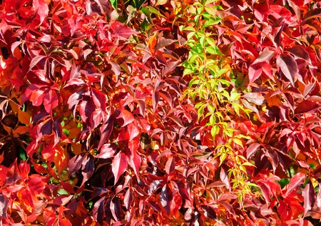 Virginia Creeper in autumn, Parthenocissus quinquefolia photo