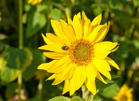 Blossom of a sunflower with a larva of a green stink bug in a sunflower field photo
