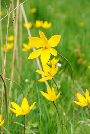 Blumen von wilden Tulpen, Tulipa sylvestris, auf einer Wiese im Frühling Lizenzfreie Bilder