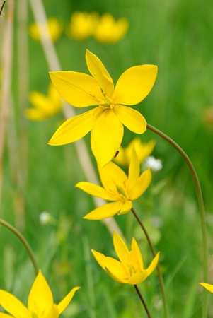 Flowers of wild tulips, Tulipa sylvestris, in a meadow in spring Stock Photo - 13379803