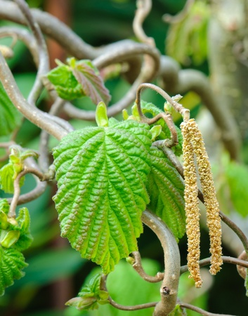 hazel: Hazelnut twig, Corylus avellana Contorta, with leaves and male inflorescence Stock Photo