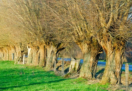 salix alba: Row of knotted willows in a meadow in winter