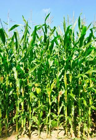 Las plantas de maíz con mazorcas de maíz en un campo de maíz Foto de archivo - 13539662
