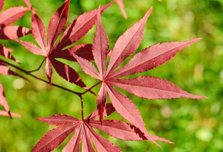 Leaves of red Japanese Maple, Acer palmatum Atropurpureum photo