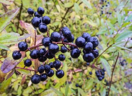 Deep blue und glänzend Beeren auf einem Strauch der wilden Liguster in regen, Ligustrum vulgare, im Herbst Lizenzfreie Bilder - 15659332