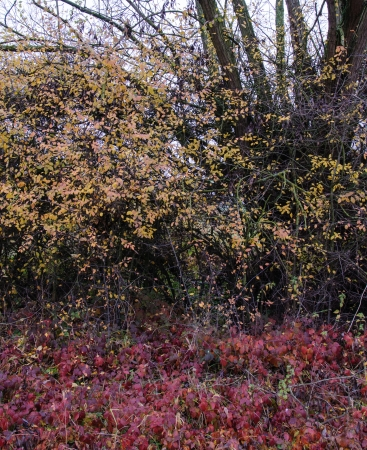 bramble: Hedge with willow,  blackthorn, hawthorn and blackberry bush in autumn