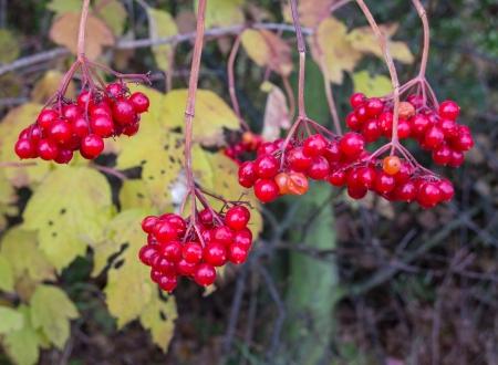 guelder rose berry: European Cranberrybush,  Viburnum opulus, with red stone fruits in autumn