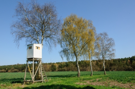 Box stand at a row of birches in spring photo