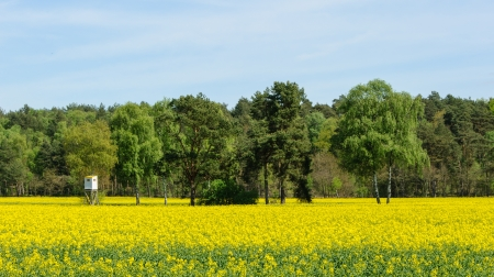 Box stand at a birch in a rapeseed field in spring photo